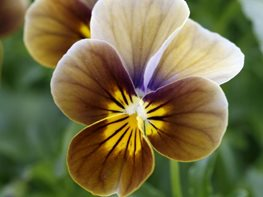 <em>Viola Velour Frosted Chocolate</em>