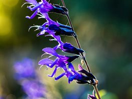 Black And Blue Salvia, Salvia Guaranitica Garden Design Calimesa, CA