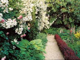 Small Backyard, White Roses, Barberry Hedge William Morrow Garden Design Washington D.C.,