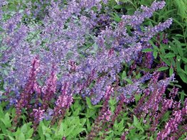 Goat's Beard, Catmint, Salvia Plant Paradise Country Gardens Caledon, ON