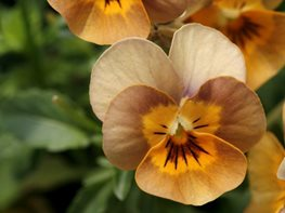 <em>Osmocote® Presents: Viola Angel Terracotta</em>