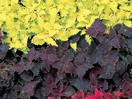 Green Coleus, Red Coleus, Purple Coleus Garden Design Calimesa, CA