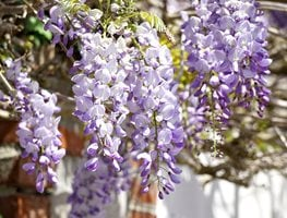 Wisteria Flower, Purple Wisteria 7 Elegant Watering Essentials Pixabay ,