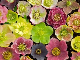 "Closeup_lenten_rose_hybrids ""Dream Team's"" Portland Garden Joanne Fuller (Homeowner) Portland, OR"