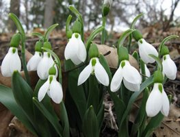 "Giant-Snowdrop ""Dream Team's"" Portland Garden Garden Design Calimesa, CA"