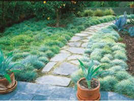 A Blue Fescue Sward By A Path. Garden Design Calimesa, CA