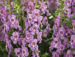 Angelface Steel Blue Angelonia, Angelonia Hybrid, Summer Flower Proven Winners Sycamore, IL