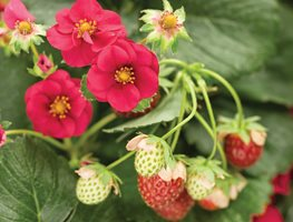 Berried Treasure Strawberry, Red Flower Proven Winners Sycamore, IL