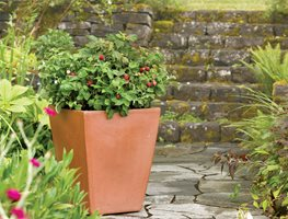 Brazzelberries, Raspberry, Container Brazelberries Gaston , OR