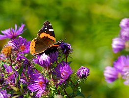 Butterfly, Purple Flowers Garden Design Calimesa, CA