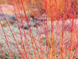 Cornus Sanjuinea, Midwinter Fire, Red Branches Garden Design Calimesa, CA