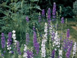 Larkspur, Delphinium, Purple, White Garden Design Calimesa, CA