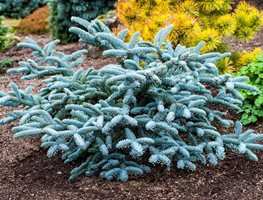 Plant Conifers Now And Into The Fall Garden Design Calimesa, CA