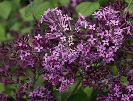 Bloomerang Dark Purple, Syringa, Lilac Proven Winners Sycamore, IL