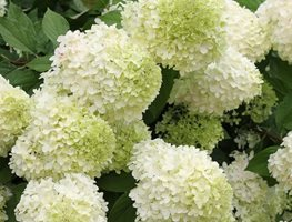 Limelight Hydrangea, Panicle Hydrangea, Paniculata, Green Flower Proven Winners Sycamore, IL