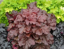 Coral Bells, Coral Bell Plants, 'mahogany Monster' Proven Winners Sycamore, IL