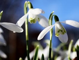 Snowdrop Flower, Spring Bulb Creative Commons ,