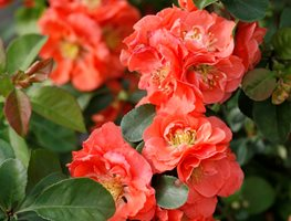 Double Take Peach Quince, Chaenomeles Speciosa, Peach Flower, Flowering Shrub Proven Winners Sycamore, IL
