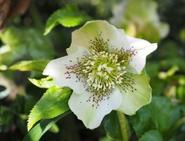 Hellebore Flower, White Hellbore Creative Commons ,