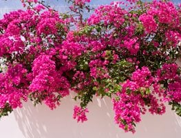 Flowering Bougainvillea, White Wall 7 Elegant Watering Essentials Shutterstock.com New York, NY