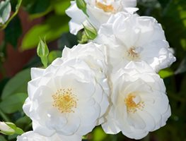 Iceberg Rose, White Flower, Climbing Rose 7 Elegant Watering Essentials Shutterstock.com New York, NY