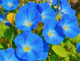 Ipomoea Tricolor, Heavenly Blue, Blue Flowers 7 Elegant Watering Essentials Shutterstock.com New York, NY