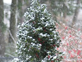 Castle Spire Holly, Evergreen Shrub, Red Berries Proven Winners Sycamore, IL