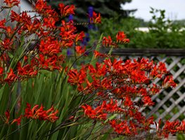 Crocosmia Lucifer, Summer-Blooming Bulb, Red Flower Walters Gardens ,