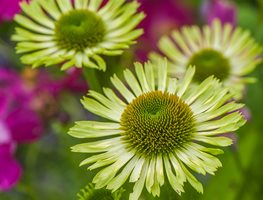 Echinacea Green Jewel, Coneflower Green Jewel Garden Design Calimesa, CA