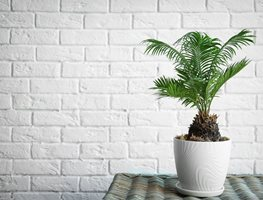 Sago Palm, Indoor Palm Shutterstock.com New York, NY