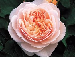 Sweet Juliet Rose, David Austin Rose, Apricot Rose Garden Design Calimesa, CA