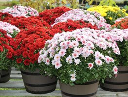 Potted Mums, Fall Mums Alamy Stock Photo Brooklyn, NY