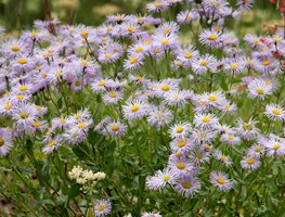 Western Aster, Symphyotrichum Ascendens, Purple Flower Shutterstock.com New York, NY