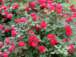 Oso Easy Double Red Rose, Landscape Rose Proven Winners Sycamore, IL