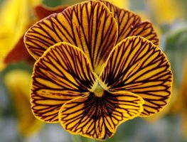 <em>Viola Angel Tiger Eye</em>