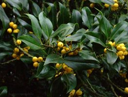 Yellow_berry_holly Garden Design Calimesa, CA