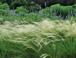 Mexican Feather Grass, Billowing Grasses Ten Speed Press Berkeley, CA