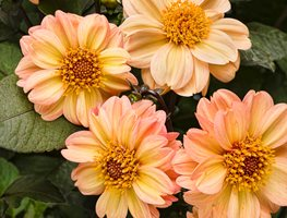 Dalightful Georgia Peach Dahlia, Peach Colored Flower Proven Winners Sycamore, IL