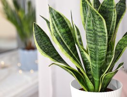 Sansevieria Trifasciata 'laurentii', Houseplant, Green Leaves Creating a Raised Bed Garden Shutterstock.com New York, NY
