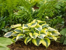 Hosta Autumn Frost, Shade Plant, Variegated Foliage Proven Winners Sycamore, IL