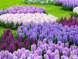 garden bulbs. Hyacinth, Purple Flower, Garden Shutterstock.com New York, NY Bulbs I