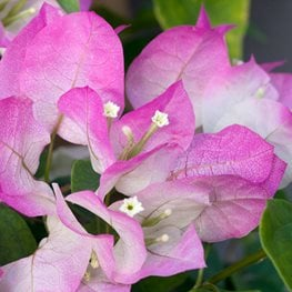 "Bougainvillea, Imperial Delight, Pink And White Flower ""Dream Team's"" Portland Garden Alamy Stock Photo Brooklyn, NY"