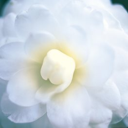 "Camellia Alba Superba, Double Flowered Camellia ""Dream Team's"" Portland Garden Leu Gardens Orlando, FL"
