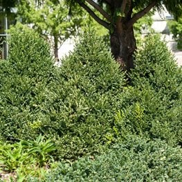 Buxus Green Mountain, Green Mountain Boxwood, Cone-Shaped Shrub Alamy Stock Photo Brooklyn, NY