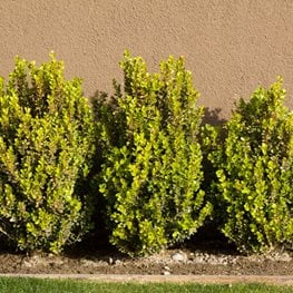 Buxus Microphylla Japonica, Green Beauty Boxwood Alamy Stock Photo Brooklyn, NY