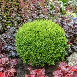Buxus Sempervirens Suffruticosa, Dwarf English Boxwood Alamy Stock Photo Brooklyn, NY