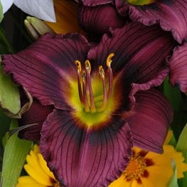 Hemerocallis, Little Grapette Daylily, Purple Flower Walters Gardens ,