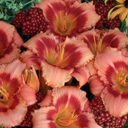 Hemerocallis, Strawberry Candy Daylily Walters Gardens ,