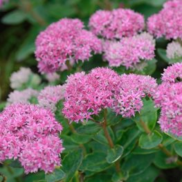 Hylotelephium Carl, Sedum, Pink Flower Millette Photomedia ,