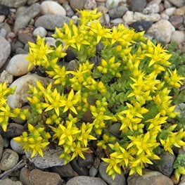 Sedum Acre, Goldmoss Sedum, Yellow Flower Alamy Stock Photo Brooklyn, NY